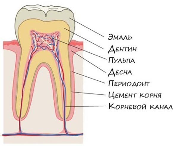 Из каких компонентов состоит зуб