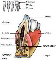 Строение зубов человек