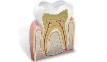 Строение зуба человека - коренного, молочного, зуба мудрости