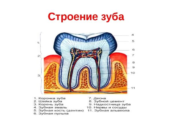 Строение зубов человека фото