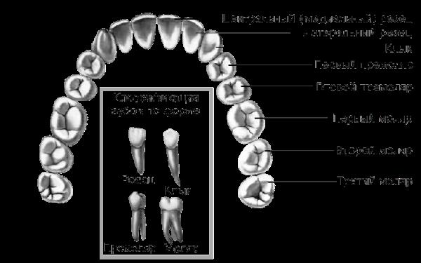 Строение зубов человека верхней челюсти