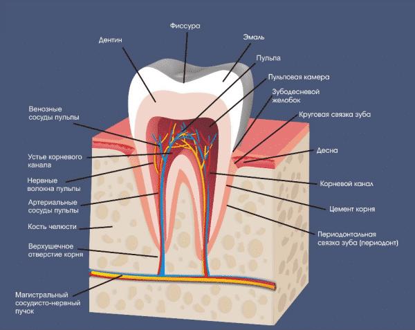 Строение зуба человека схема