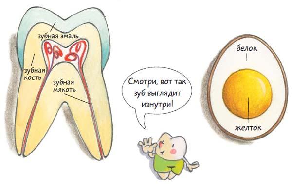 Строение передних зубов человека фото
