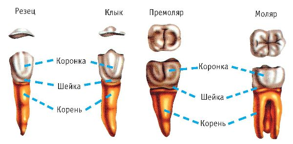 Строение коренного зуба человека